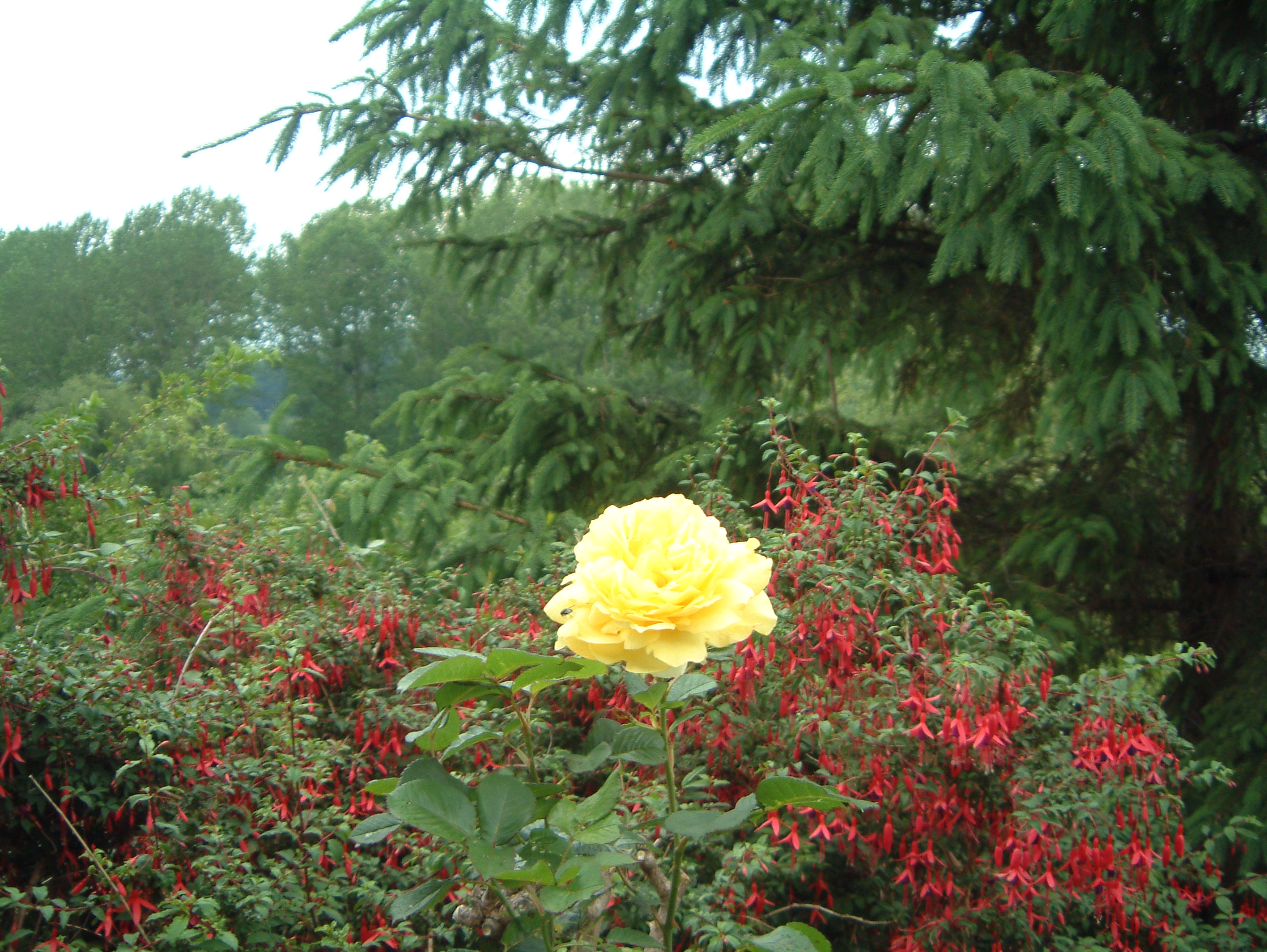yellowrosefuschia.jpg